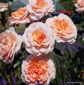 rose_orange_strauchrose_schloss-eutin_kordes_03.jpg