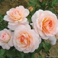 rose_orange_strauchrose_schloss-eutin_kordes_02.jpg