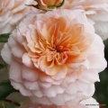 rose_orange_strauchrose_schloss-eutin_kordes_01.jpg
