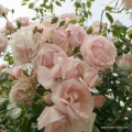 rose_rosa_kletterrose_new-dawn_kordes_02_1.jpg