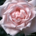 rose_rosa_kletterrose_new-dawn_kordes_01_1.jpg
