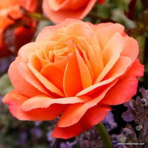 Coral Lions - Rose ®