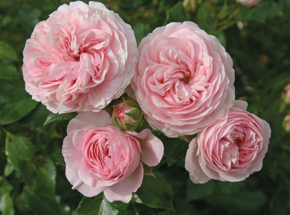 d16c78fbf9dcd5 Larissa® — mała róża krzaczasta, dobrze sprawdza się jako okrywowa