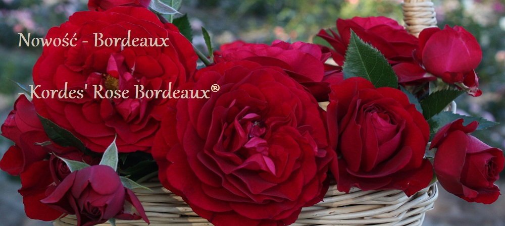Bordeaux - Kordes Rose Bordeaux®